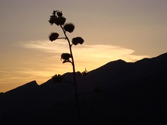 agave bloom at sunset (azhiker_grrl) Tags: sunset arizona nature succulent desert tucson hike bloom agave fav sabinocanyon blackettsridge
