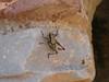 Byzantine grasshopper (steven_and_haley_bach) Tags: bug cicada insect byzantine animalia arthropoda mystras sixthday mistras greecevacation byzantineruins