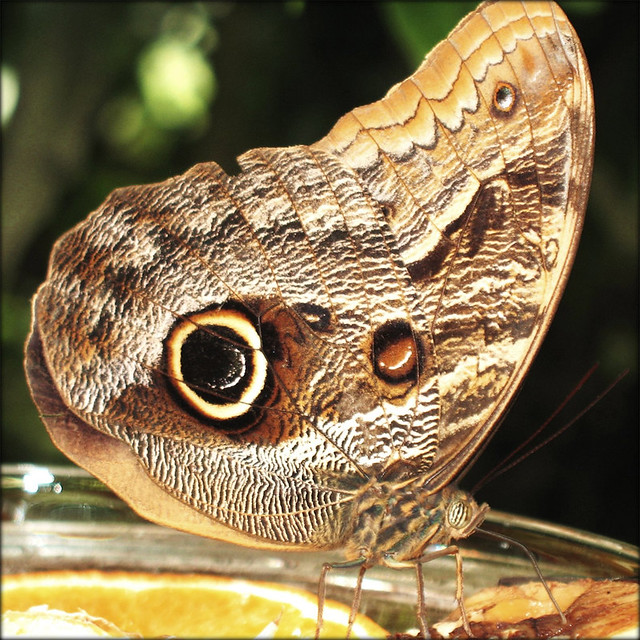 Owl Butterfly (Caligo eurilochus) - Nature at Lake Constance, Germany