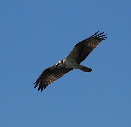 Osprey_0092