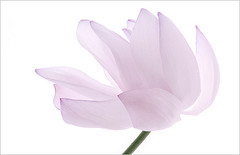 Lotus Flower Macro / up close  - IMG_3975 (Bahman Farzad) Tags: flower macro up closeup high key close lotus upclose lotusflower flowermacro macroflower closeupflower lotuspetal upcloseflower lotuspetals lotusmacro macrolotus lotusflowermacro macrolotusflower upcloselotus closeuplotus lotusflowerpetals lotusflowerpetal