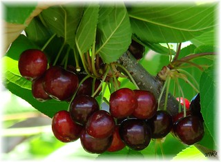 Cherry Time.......