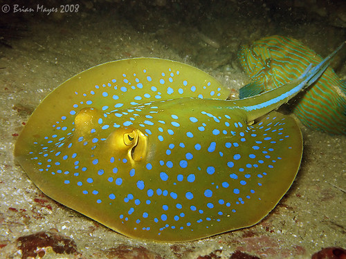 Bluespotted Ribbontail Ray farm4.static.flickr.com