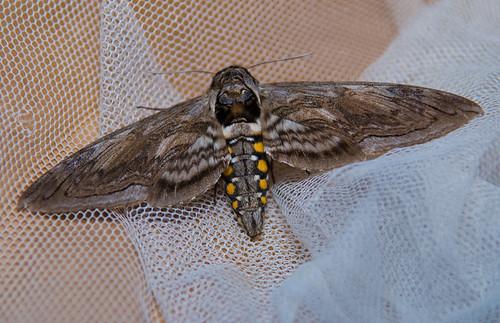 big moth 3