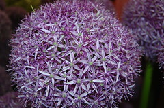 aliums (grannie annie taggs) Tags: flower macro otw awesomeblossoms naturallymagnificent
