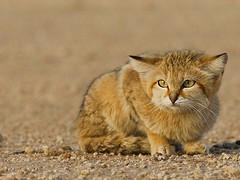 fear (Peacful-Art.com ) Tags: wild cats nature cat photo kitten desert kuwait wildcat kwt vwc desertanimals kwtphoto kvwc kuwaitvoluntaryworkcenter kwtphotocom