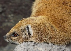 Weltschmerz of the yellow mongoose (e) Tags: portrait nature fur meerkat furry lille mongoose yellowmongoose cynictispenicillata rijsel mangoest naturepix vosmangoest herpestidae cynictis redmeerkat redmeerkata meerkata