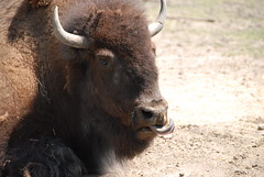 Plains Bison (Bison bison bison)