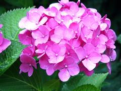 Gartenhortensie (Martin Volpert) Tags: blumen hydrangea blüte garten blüten hortensien hydrangeaceae saxifragaceae gartenblume gartenhortensie mavo43