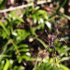 Scary Spider (eivindb) Tags: beach australia portmacquarie
