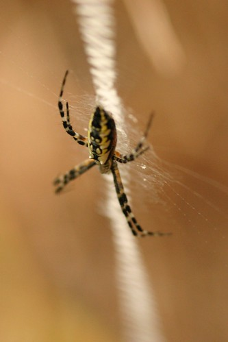 Immature Gold Orb Weaver