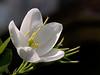White Orchid (Bauhinia acuminata)- Kanchan in Hindi (Soumen Nath) Tags: flower excellence whiteorchid kanchan bauhiniaacuminata excellentsflowers wonderfulworldofflowers