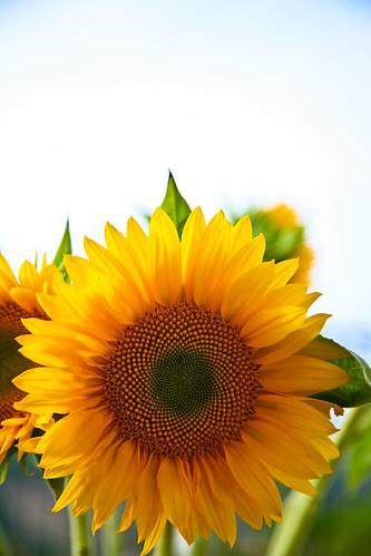 sunflower brunch1