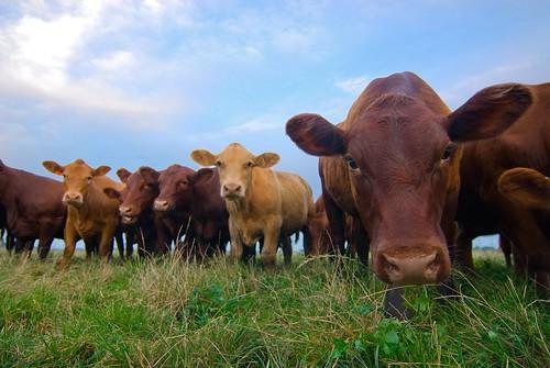 Triple S Farm cattle