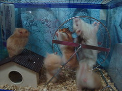 DSC02027 (prudencemadness) Tags: hamsters