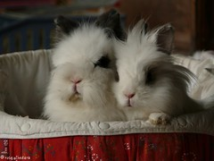 "Buns say: ""Happy furry Friday!"" (roseinthedark) Tags: friends pets white cute bunnies furry fluffy buns rabbits lovely soe conigli conejos platinumheartaward betterthangood neveandribes adorapair"