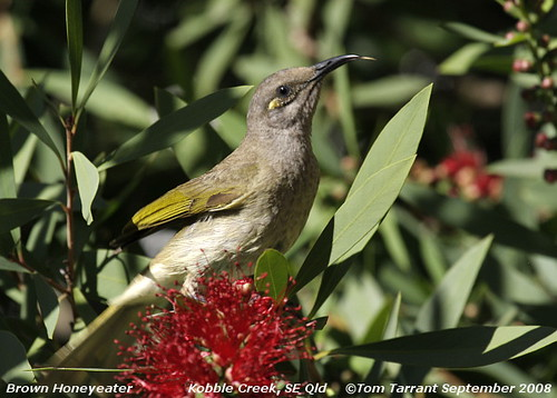 Brown Honeyeater (Lichmera indistincta) by aviceda.