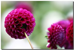 POMPON DAHLIA (PHOTOPHOB) Tags: pink dahlia flowers autumn summer plants plant flores flower color macro nature fleur beautiful beauty fleurs ball germany garden petals spring colorful flickr dof estate autum stuttgart blossom bokeh sommer herbst natur flor pflanze pflanzen blumen zomer verano bloom blomma vero dalie t blume fiore blomst asteraceae dahlias dalia frhling bloem floro kwiat pompons killesberg dahlie lato lto dahlien kvt blomman blomsten bej fantasticflower dalio colorphotoaward aplusphoto hpps colourartaward excapture photophob wonderfulworldofflowers awesomeblossoms theperfectpinkdiamond balldahlien