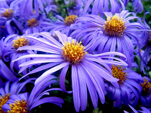 Michaelmas Daisy | Flickr - Photo Sharing!