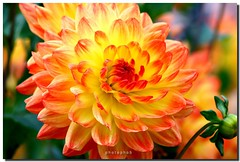 DAHLIA (PHOTOPHOB) Tags: dahlia flowers autumn summer plants plant flores flower color macro nature fleur beautiful beauty fleurs petals spring colorful flickr estate blossom sommer herbst natur flor pflanze pflanzen blumen zomer verano bloom otoo blomma vero dalie t blume fiore blomst asteraceae outono dahlias dalia frhling bloem jesie floro kwiat dahlie lato lto sonbahar dahlien kvt blomman efterr topshots blomsten dalio flowersarebeautiful colourartaward excellentsflowers natureselegantshots photophob mimamorflowers panoramafotogrfico thebestofmimamorsgroups