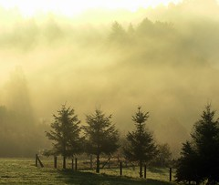 Dancing fog (Linda6769) Tags: morning autumn tree silhouette yellow fog germany village herbst thuringia fir spruce baum autumnal conifer nadelbaum hildburghausen herbstlich konifere explored brden picturewithmusic