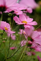 Cosmos Blowing in the Wind (Abby Lanes) Tags: pink flowers green nature explore cosmo cosmos naturesfinest masterphotos