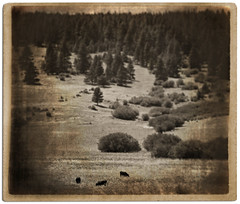Home on the Range (dancingshiba) Tags: trees sepia vintage three cows textures grasses aged ragged outstanding oldwest drivebyphotography t4l intentionalblurring backgroundimageandtextureby~essenceofadream~ somewhereeastofthecascades