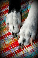 All Hands On Deck (NikkiRMZ) Tags: dog pet pets white black dogs animal animals fur paw furry warm fuzzy friendly bordercollie paws playful mixedbreed bordercolliemix catchycolorsred dogpaws dogfeet mansbestfriiend slickcoat