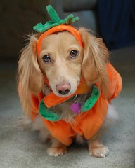 Punkin (Doxieone) Tags: orange dog cute green english halloween colors pumpkin carpet costume nikon colorful long sweet mosaic cream dachshund honey blonde puffy haired 31 coll doxie longhaired honeydog d80 englishcream honeyset halloweenfall2008set