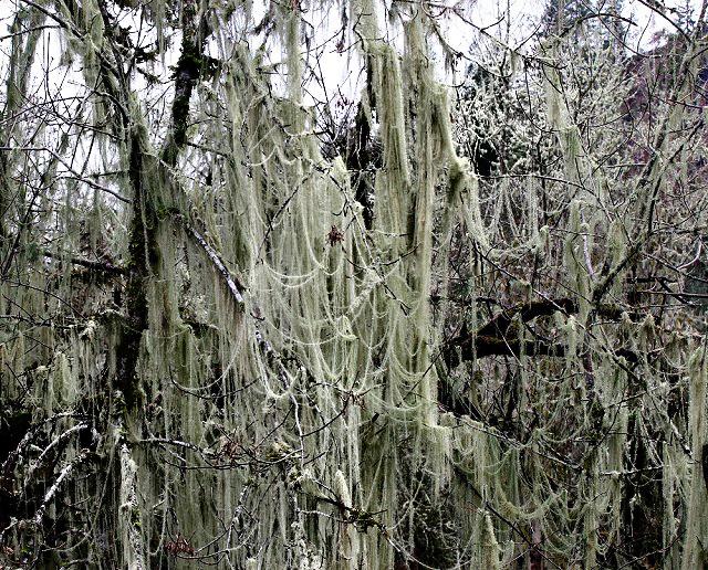 Spanish Moss 3