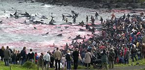 2008-11-03 - Kinship Circle - ACT - Whale Bloodbath In Danish Faeroe Islands 02
