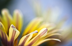 The Wind of Change... (SonOfJordan) Tags: blur flower macro canon eos wind bokeh echo amman jordan change colourful xsi hbw 450d platinumphoto  samawi sonofjordan shadisamawi  wwwshadisamawicom
