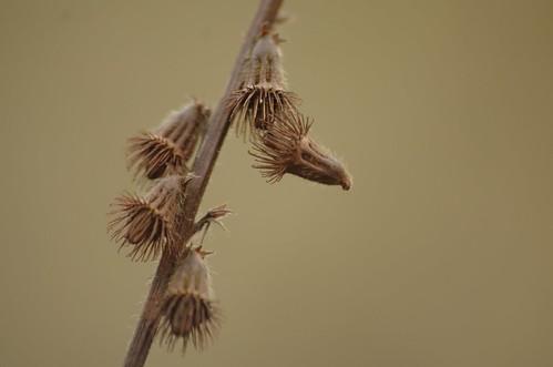 Agrimonia eupatoria - Agrimonie, Agrimony