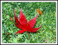 Red Leaf (kweaver2) Tags: red nature grass leaf dew olympuse520