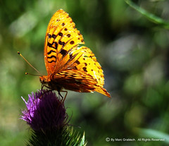 Butterfly (mgrabisch) Tags: flower macro butterfly colorful purple bokeh sony dsc h9 sonydsch9