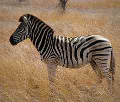 Zebra (Colorado Sands) Tags: africa wild nature animals southafrica african wildlife south safari zebra afrika nationalparks za sdafrika krugernationalpark kruger limpopo zebras southafrican knp sudafrica  zbre afriquedusud lafrique zuidafrika plainszebra burchellszebra equusburchelliantiquorum photoanimalire limpopoprovince sandraleidholdt sudafrika surfrica afrikasafari leidholdt sandyleidholdt