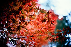 Colors/Dance (moaan) Tags: life leica november light red sky sunlight color leaves sunshine japanese 50mm maple dof shine bokeh bluesky f10 momiji japanesemaple glowing noctilux 2008 hue tinted mapleleaves leicam7 m7 autumun rvp fujivelvia tinged rvp100 glowingcolors fujirvp inlife leicanoctilux50mmf10 bokehwores tingedwithred gettyimagesjapanq1 gettyimagesjapanq2