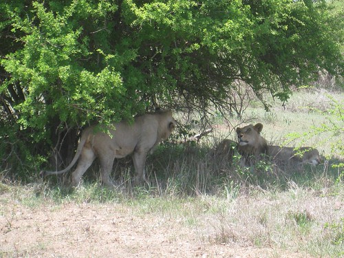 Male lions - Kruger Park, South Africa