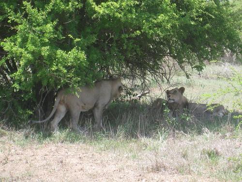 Male lions - Kruger Park, South Africa