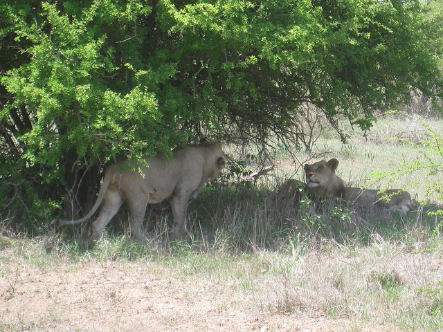 Male African lions in Kruger Park, South Africa.