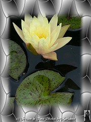 P2080952+1 A great photograph is a full expression of what one feels about what is being photographed in the deepest sense, and is, thereby, a true expression of what one feels about life in its entirety. ~ Ansel Adams (Frozen in Time photos by Marianne AWAY OFF/ON) Tags: flowers flower green nature yellow waterlilies yellowflowers framedphotos flowerpicturesnolimits betterthangood flowersarefabulous photowatermarkframes digitalartfx flickrgiants