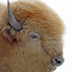 Blizzard---a Rare White Bison (njchow82) Tags: winter snow canada calgary nature animal zoo wildlife alberta spiritual calf bison rare soe calgaryzoo potofgold animaladdiction beautifulexpression specanimals whitebison impressedbeauty worldofanimals dmcfz18 goldstaraward thesuperbmasterpiece rubyphotographer flickrlovers vosplusbellesphotos naturescreations njchow82 spiriticon