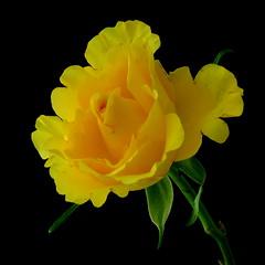 My Favourite Flower (Vanda's Pictures) Tags: flower rose yellow petal vanda excellence vosplusbellesphotos