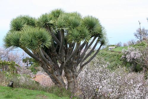 Drachenbaum1