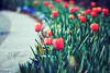"""""""I can no other answer make, but, thanks, and thanks."""" (mjmatt) Tags: tulips dallasarboretum 85mm18 betharmsheimertexture"""
