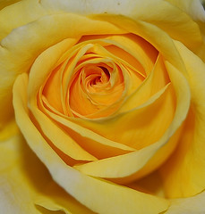 To ALL THE MOTHERS (desertwatercolors) Tags: flower rose yellow dwc desertwatercolors