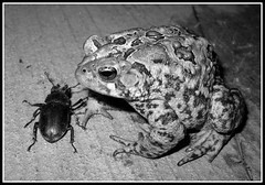 Beetle and Toad (timmerschester) Tags: blackandwhite bug toad stagbeetle americantoad