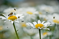 """Autosuggestion """"I like green, yellow, Diptera and Hymenoptera"""" (cliccath) Tags: macro wasp bee therapy abeille phobia syrphidae diptera macrophotography hymenoptera gupe oxeyedaisy vespidae apidae therapie phobie syrphe macrophotographie hymenoptere diptere canoneos5dmarkii canonef100mmf28macrousmlens cliccath cathschneider margueritedeprs"""