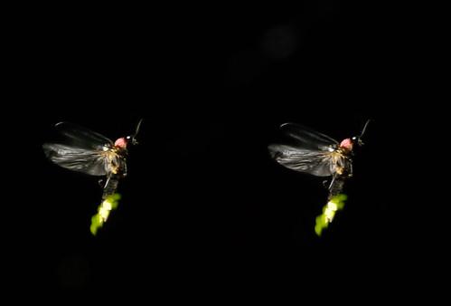 Luciola cruciata, stereo parallel view