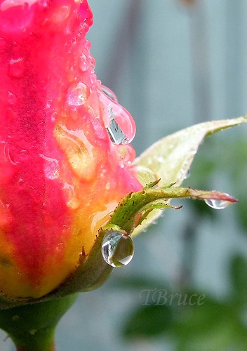 Rain on a Rose Bud
